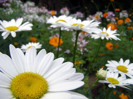 Daisies growing along side other wildflowers.
