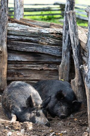 Two pigs asleep in their pig pen on the farm  at the Booker T Washington  Memorial