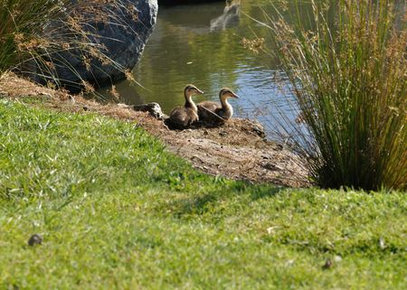 Duckling Pair Looking out for Mom Imagens