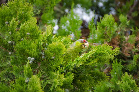 Feral Red Crested Parrot Peeking out of Juniper in Escondido California, near San Diego Standard-Bild