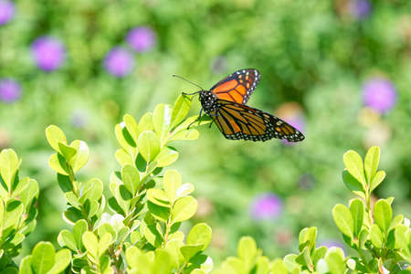 A monarch butterfly rests in the shrubs in San Diego's Balboa Park in springtime Banque d'images