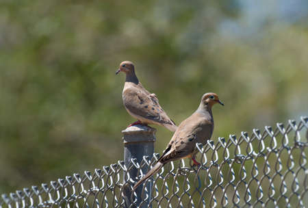A pair of morning doves perch on a chain link fence 写真素材