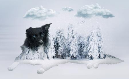 Attentive purebred border collie dog lying, one ear bent, full length portrait doble exposure effect over winter snowy forest landscape. Reklamní fotografie