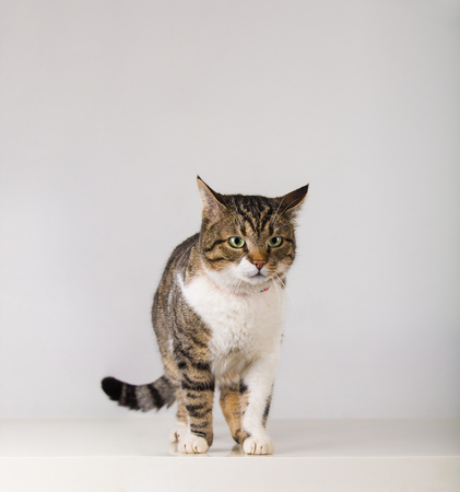 Full length portrait of adorable striped cat standing attentive, looking curious for something isolated on grey wall background with copy space.