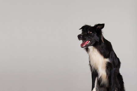 Closeup portrait of adorable astonished purebred Border Collie dog looking aside keeps mouth open being amazed isolated over grey wall background with copy space. Funny joyful puppy positive emotion. 免版税图像