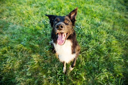 Happy Border Collie dog without leash outdoors in nature in beautiful sunrise. Happy Dog looking to camera in city park. Фото со стока