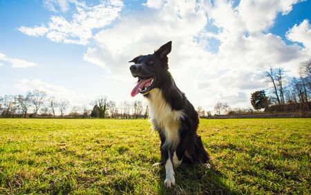 Playful purebred border collie dog playing outdoors in the city park. Adorable puppy enjoying a sunny day in the nature, looking aside with funny open mouth, over green lawn background with copy space
