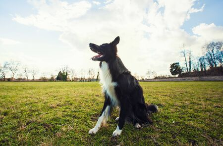 Smart border collie dog seated outdoors on the green grass in the park looking attentive waiting his master command. Obedient pet listen his owner instructions for training.