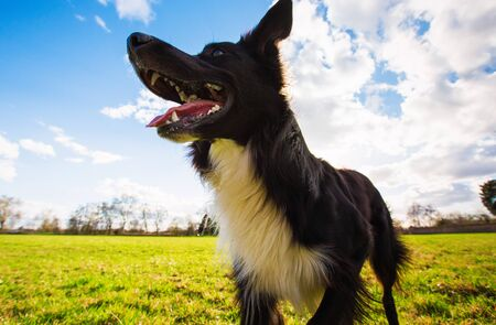 Close up portrait of playful purebred border collie dog playing outdoors in the city park. Adorable puppy enjoying a sunny day in the nature, funny open mouth expression.
