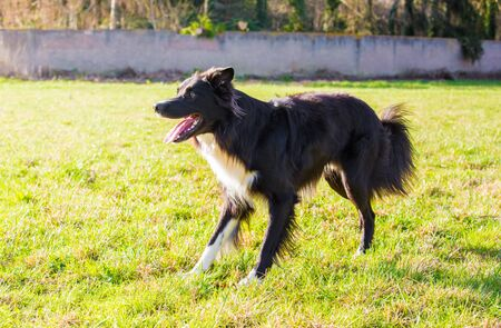 Playful purebred border collie dog playing outdoors in the city park.