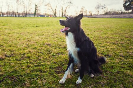 Smart border collie dog seated outdoors on the green grass in the park looking attentive waiting his master command. Obedient pet listen his owner instructions for training. Banco de Imagens - 128606564