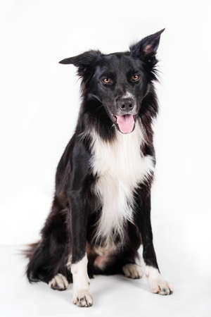Full length portrait of an adorable purebred Border Collie looking to camera isolated on gray background with copy space. Funny black and white dog try to be serious. Banco de Imagens