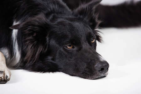 Bored and upset puppy isolated on white with copy space. Full length portrait of a sad and thoughtful purebred border collie dog looking down pensive