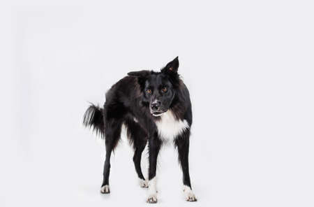 Full length portrait of an adorable purebred Border Collie looking to camera isolated on gray background with copy space. Funny black and white dog try to be serious.ful Banco de Imagens