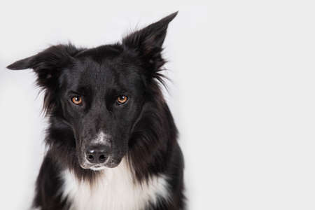 Close up portrait of an adorable purebred Border Collie looking to camera isolated over white wall background with copy space.