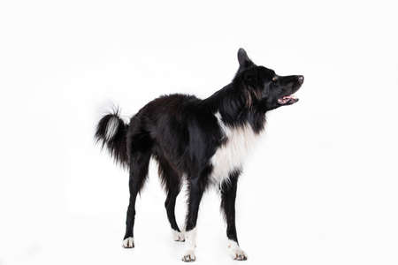 Full length portrait of an adorable purebred Border Collie looking aside isolated on gray background with copy space. Funny black and white dog try to be serious.