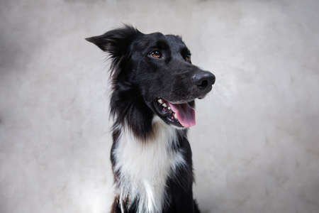 Close up portrait of an adorable purebred Border Collie dog looking up to camera isolated over gray wall background. Funny black and white puppy showing tongue, mouth open. Banco de Imagens