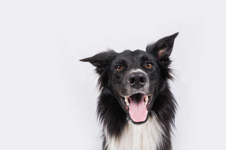 Close up portrait of an adorable purebred Border Collie looking to camera isolated over gray wall background. Funny black and white dog showing tongue.