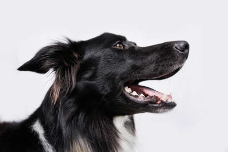 Closeup portrait of a cheerful purebred Border Collie dog looking up isolated on white background with copy space. Funny astonished puppy, staring pet showing tongue, mouth open.