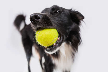 Border collie dog holding a yellow ball in the mouth. Border collie playing with his favorite ball Isolated on white background.