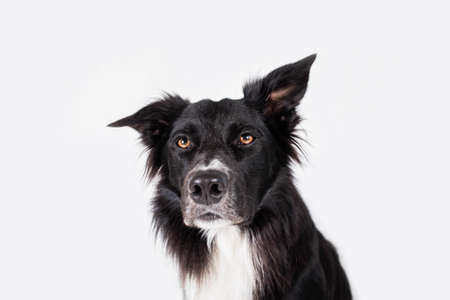 Full length portrait of an adorable purebred Border Collie looking annoyed isolated on gray background with copy space. Border collie dog hearing something annoyed.