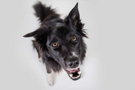 Close up portrait of purebred dog funny emotion. Open mouth and big eyes looking up attentive staring, waiting for food. Astonished Border Collie expression, adorable pet isolated on white, copy space