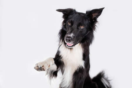 Close up portrait of an adorable purebred Border Collie dog looking aside raising up one of his front paws isolated over gray wall background with copy space. Funny puppy showing tongue, mouth open. Banco de Imagens