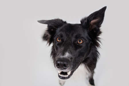 Close-up of Border collie.Studio shot of an adorable Border Collie sitting on white background.