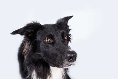 Close up portrait of an adorable purebred Border Collie looking to camera isolated over gray wall background.