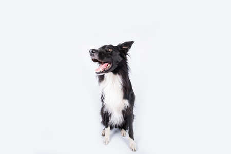 Happy surprised purebred border collie dog looking up with his mouth opened mouth and big eyes looking up attentive staring, waiting for food. Astonished Border Collie expression, adorable pet isolated on white, copy space.