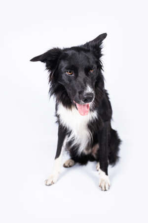 Full length portrait of a bored border collie dog isolated on white with copy space. Banco de Imagens