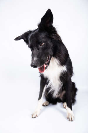 Full length portrait of an adorable purebred Border Collie looking down isolated on gray background with copy space. Funny black and white dog looking to something.