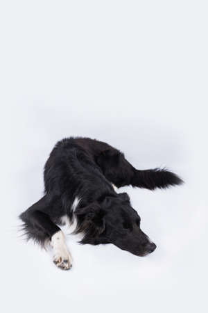 Sleeping purebred Border Collie dog over white background. Tired cute puppy resting indoors.