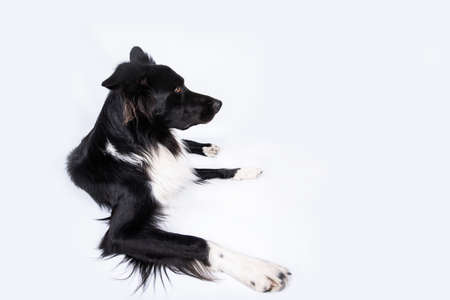 Attentive purebred border collie dog lying on the floor and looking up isolated over white background. Serious dog looking up on white background. Foto de archivo