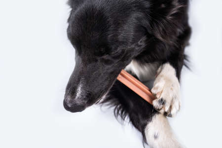 Border collie chewing a toy for dental care. Dog's oral hygiene. Banco de Imagens