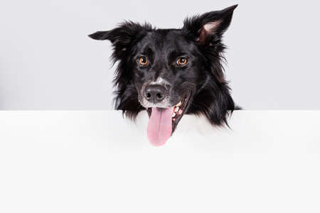 Happy border collie with a white banner or a poster in front of him, isolated. Card template with portrait of a dog. Dog behind empty white board.