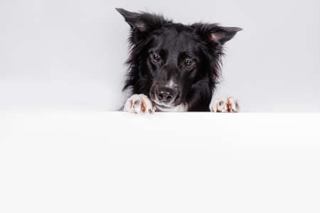 Curious border collie dog looking down with a white banner or a poster in front of him, isolated. Card template with portrait of a dog. Dog behind empty white board.