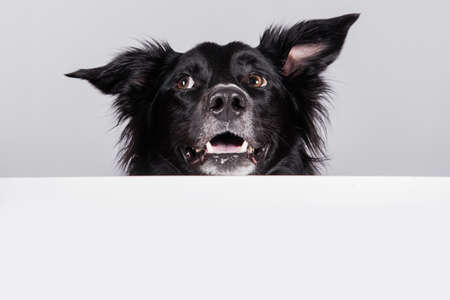 Happy surprised border collie dog looking up with a white banner or a poster in front of him, isolated. Card template with portrait of a dog. Dog behind empty white board. Standard-Bild