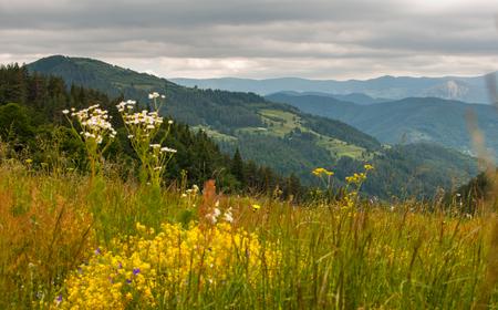 Gele bloemen en dennenbos in Rhodope bergen. Stockfoto