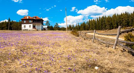 casa vecchia: Rustico scena. Vecchia casa nella foresta. Staccionata di legno e molte croco viola e giallo. Archivio Fotografico