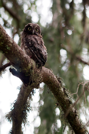 boreal: Young Boreal owl in the forest.