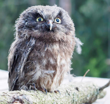 boreal: Young Boreal Owl on a tree branch. Stock Photo