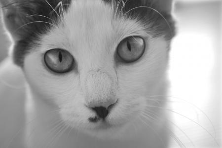 White cat staring, black   white Stock Photo