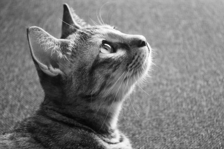 Cat looking up, black   white Stock Photo