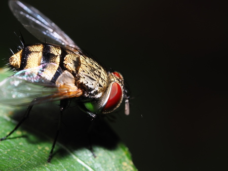 Fly on green leaf isolated with black background, red eyes animal, clear wing, Insect macro or closeup Stock Photo