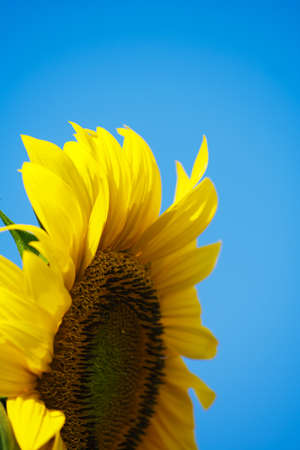 Sunflower with blue sky background