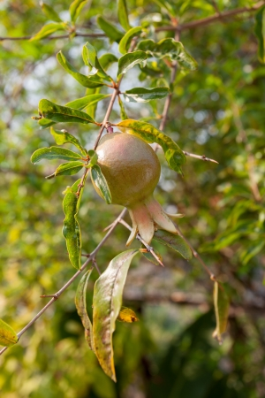 Young Pomegranate fruits on the tree with green leaves