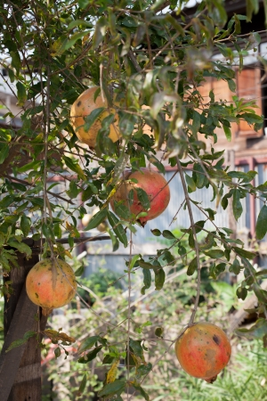 Pomegranate fruits on the tree with green leaves  Stock Photo