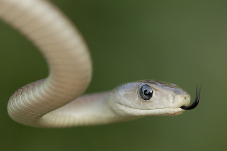 A Black Mamba snake uses its tongue to pick up scent particles in the air, South Africa