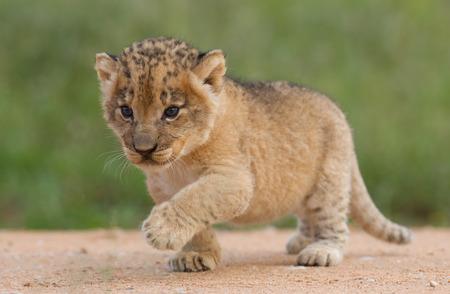 leon bebe: Cachorro de león Pequeño, (Panthera leo) en Sudáfrica